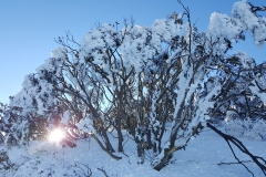 Snow gums in the morning sun